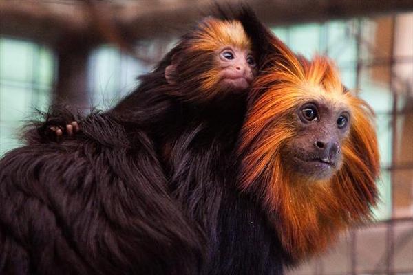 mico leão de cara dourada com filhote